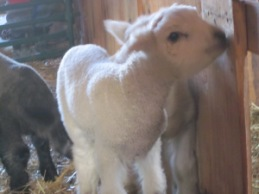 And white lambs