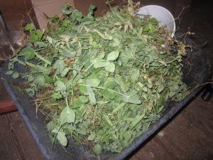 Wheel barrow full of shelling pea plants. Patty planted one row, we think 80 plants.