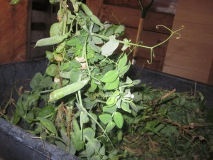 Gotta get them pea pods off the vine!
