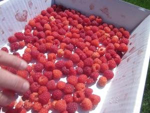 We love our raspberries!