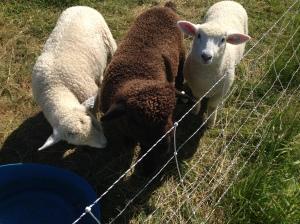 The lambie lambs!