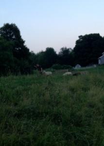 Patty's shepherding skills...one bucket with feed, shake, walk.